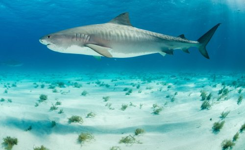 New study finds that hurricanes don't scare tiger sharks