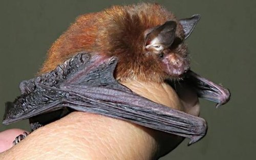 Meghalaya records India's first bat with sticky disks