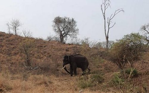 Elephant released in Mudumalai reported to be acclimatizing to new surroundings