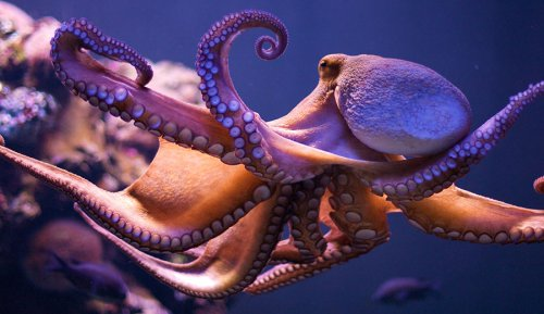 Suckers for Learning: Why Octopuses are So Intelligent