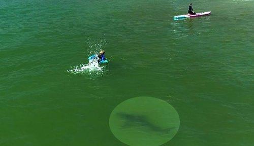 Great White Shark Cruises Through California Surf Camp