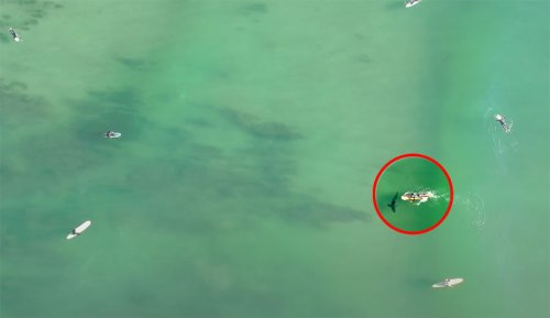 Surfer Unknowingly Paddles Over Great White Shark In Crowded Lineup