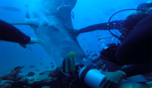 Watch: Crazy Video of Tiger Shark Attacking Scuba Diver in Fiji | The Inertia