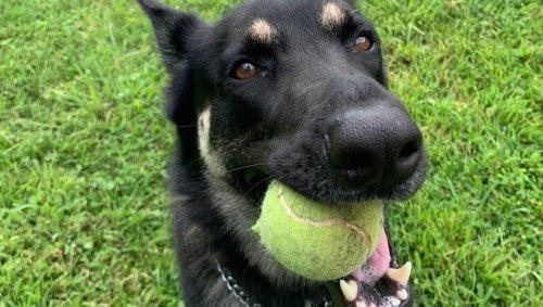 Is Major Biden A Bad Dog? Expert Explains