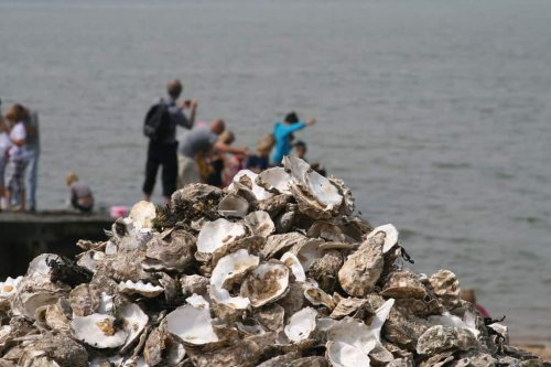 Diners poisoned by sewage at Whitstable oyster festival