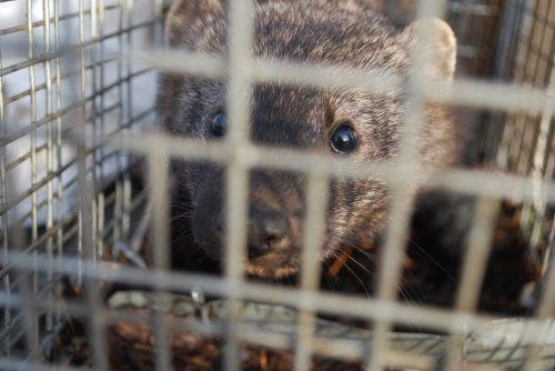 B.C. government gives okay to trap endangered fishers for fur as scientists warn of impending extinctions | The Narwhal