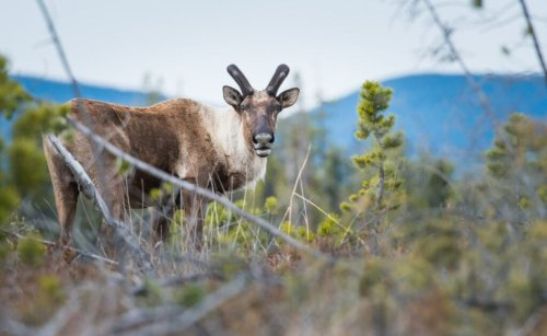 Old-growth logging in endangered Alberta caribou habitat 'flies in the face of common sense,' critics say | The Narwhal