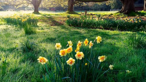 Planting tulip and daffodil bulbs this fall? Here are tips for success in PNW gardens