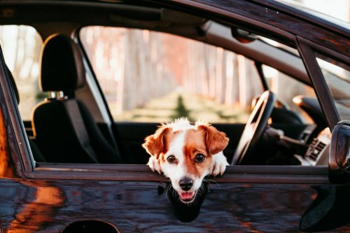 Pet Transporter Side Gig Can Pay Good Money