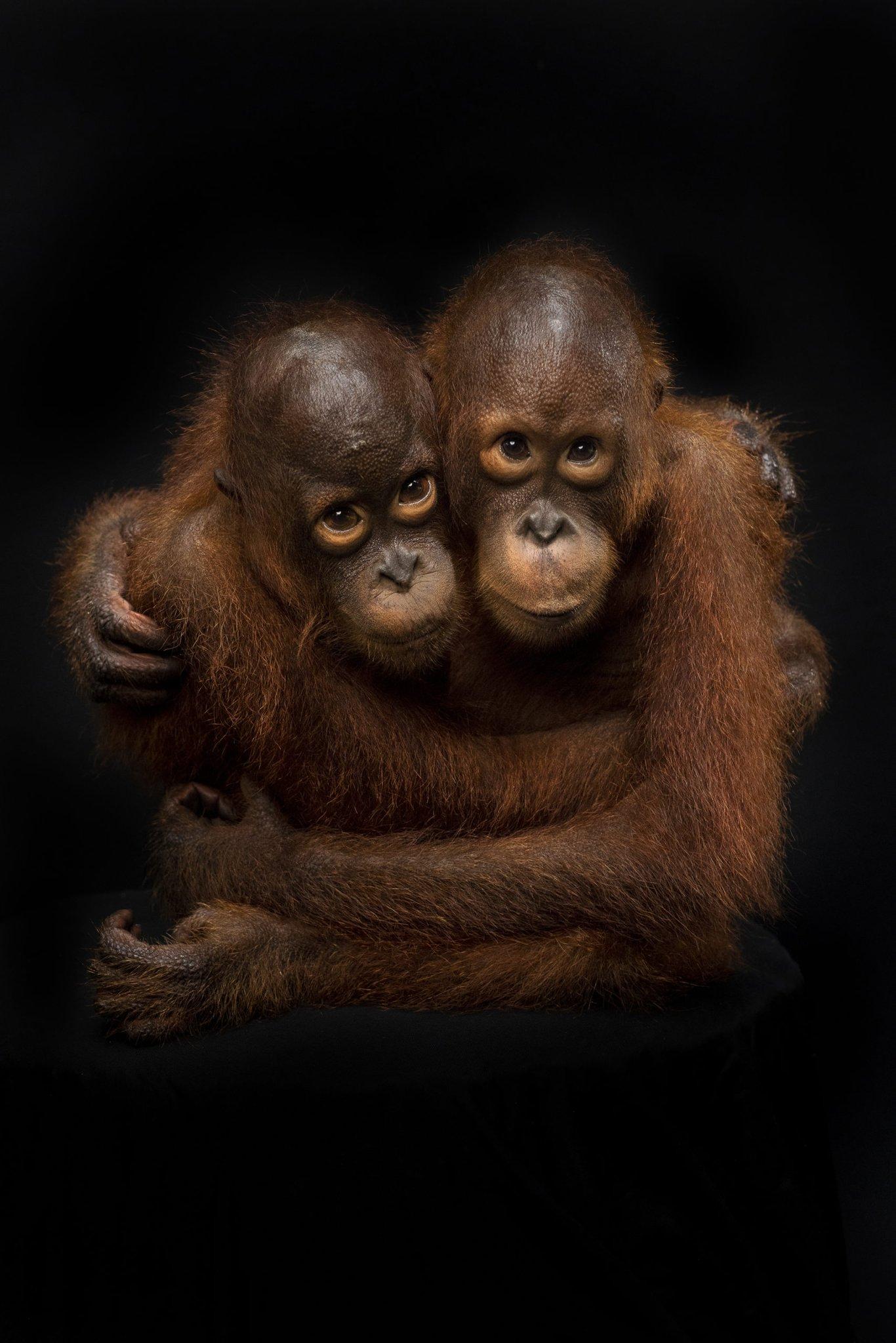 Mark Edward Harris' Beautiful Orangutan Portraits Highlight Deeper Issues