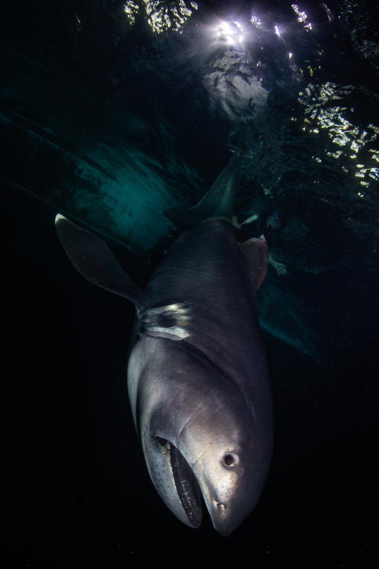 Zola Chen Captured The Fascinating and Ultra Rare Megamouth Shark