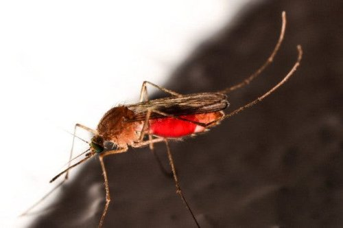 Stunning Image Captures Mosquito As it Sucks Up Blood