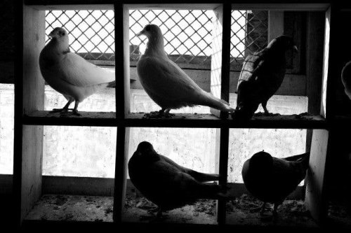 Agaton Strom's Images of NYC Rooftop Pigeon Breeders