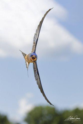Adam Jones Captured a Unique Photo of this Divebombing Barn Swallow