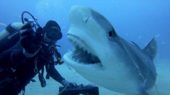 Shark Week: Divers Pet Tiger Sharks Like Dogs