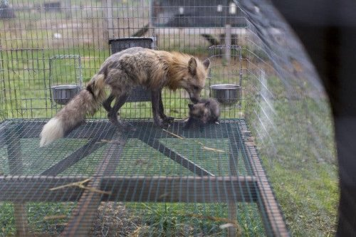 Shane Welch's Foxtail Furs Project Showcases Adorable Foxes
