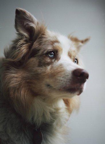 Nicholas Lindsey's Beautiful Analog Portraits of Dogs