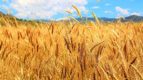 Usual laggard Bihar stuns with record wheat procurement this time, UP performs well too
