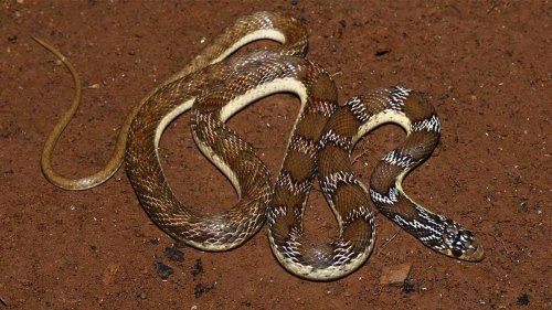 185-year-old paintings reveal new snake species in Tamil Nadu