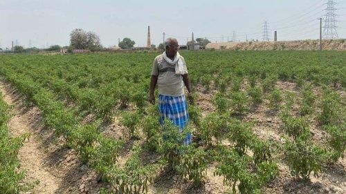 Paddy to chilli — What Tamil Nadu farmers' 'Red Revolution' can teach Punjab