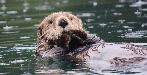 How otters' love for eating purple sea urchins is protecting fragile ecosystems