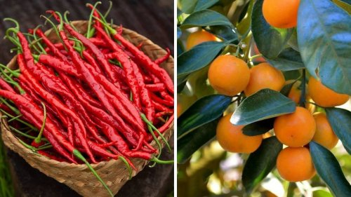 'God's gift' Hathei chillis and Tamenglong oranges of Manipur get GI tag