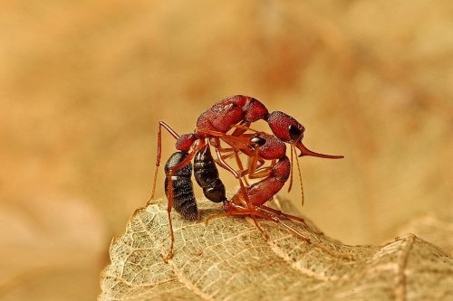 Indian jumping ants shrink their brains trying to become queen