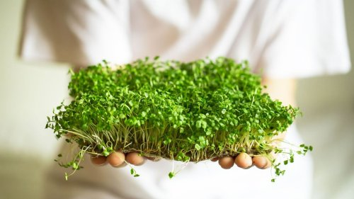 Have You Taken to Growing Microgreens? Here's How to Do It Right