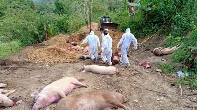 After Mizoram, African Swine Fever Breaks Out in Tripura