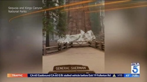 General Sherman Tree, world's largest tree, wrapped in fire-resistant blanket as it stands in path of KNP Complex fire.