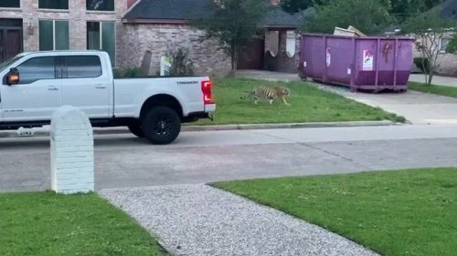 A tiger was spotted walking around a neighborhood in Houston before being led back to its home. (Credit: Rob Wormald)