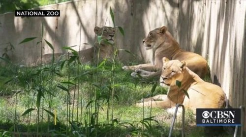 The National Zoo in Washington D.C. announces that all of their lions and tigers have tested positive for COVID.