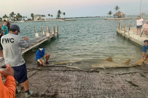 World's biggest sawfish measuring 16 FEET long found with huge 'eggs inside her'