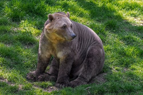 New 'Pizzly Bear' super-hybrid created as polar bears and grizzlies mate