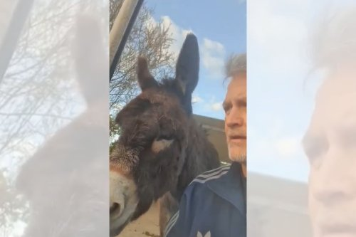 Meet Steve, the donkey who went viral for 'breaking' into the feed shed [video]