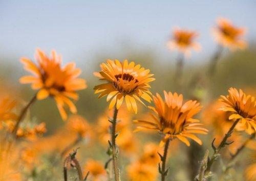 Great news! West Coast flower season is almost open