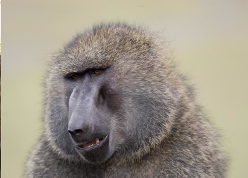 Western Cape: 'Murder' of notorious baboon Scarface sparks anger