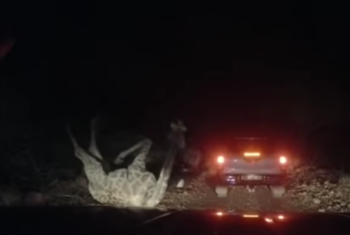Watch: Bizarre footage shows Limpopo giraffe crashing into TWO bakkies