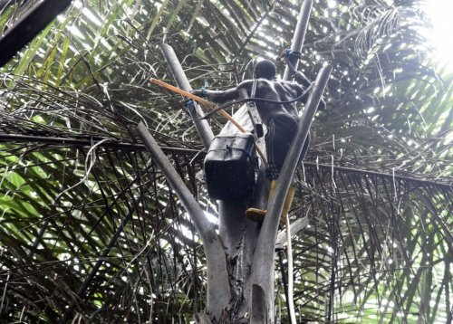 Nigerian beer: Nigeria's palm wine tappers face uphill task