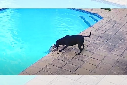 Boksburg dog rescue: Staffie rescuing drowning pup will make your day [watch]