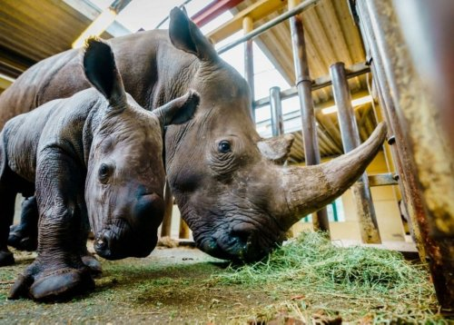 Rhino drowns: Dutch zoo's mating attempt goes horribly wrong