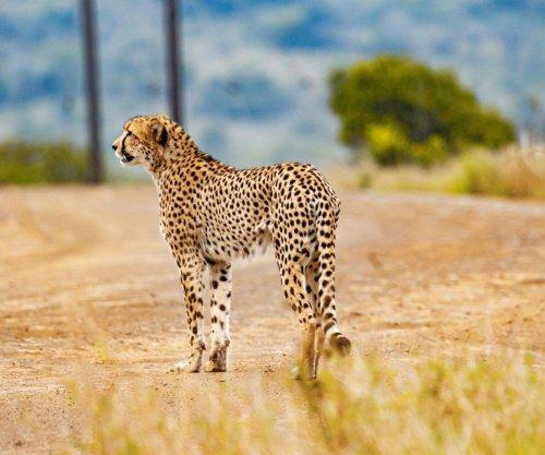 Arrest made after cheetah killed by motorist at Kruger National Park