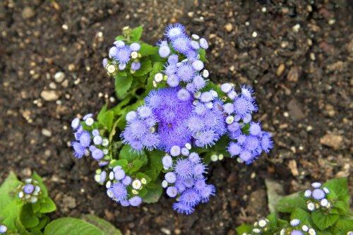 How to Grow Blue Mistflowers