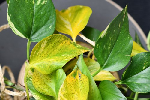 Here's Why Your Pothos Leaves Are Turning Yellow