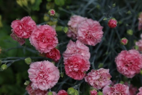How to Grow and Care for Carnations