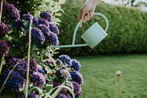 When and How to Fertilize Hydrangeas