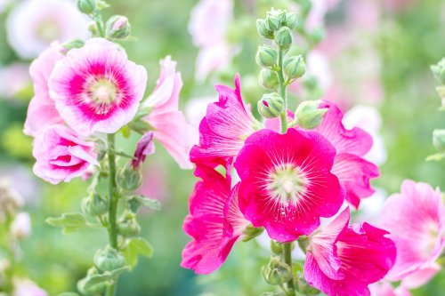 How to Grow and Care for Hollyhock (Alcea)