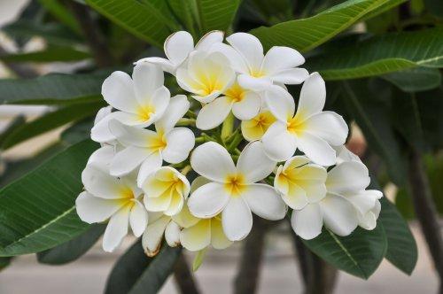How to Grow White Frangipani (Plumeria)
