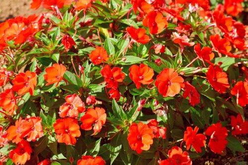 How to Grow and Care for SunPatiens