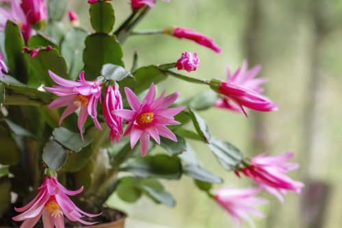 How to Grow and Care for Easter Cactus